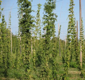 Estate hops growing at Sierra